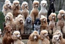 Poodlelicious! / Poodles!! / by Bridget Karns