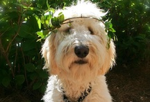 Golden Doodle /  Tobold Hornblower of the Southfarthing aka Old Toby.   / by Kim Ramey