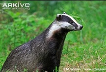 ♥ weasels, otters, ferrets & badgers ♥ / Mustelidae is the largest family within Carnivora and is comprised of 56 species in 22 genera. Members of this family include weasels, stoats, polecats, mink, marten, fishers, wolverines, otters, badgers, ferrets and others. / by slℯℯkitty