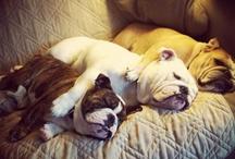 Bulldogs. / by Ashlie Evans