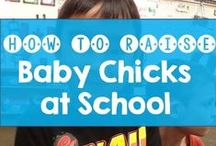 Baby Chicks in First Grade