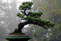 NaTuRE's MuSiC ~ BoNsAi / An artifice of the living. / by ~ KaiZeN ~