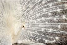 aNiMaLia ~ aViaN ~ PeaFoWL / Displaying excellence / by ~ KaiZeN ~