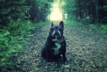 French Bulldogs / Once you have a Frenchie, you can't image life without one. This board is dedicated to our departed Claude and our very much alive Chauncey.