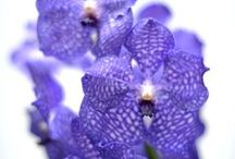 Vanda / The Vanda grows and flourishes on trees. The roots hang loose in the air or are swung around the tree. The Vanda comes in different colors, but the most unique is the blue version (the only in the world). http://www.orchidsinfo.eu/en/consument/the-orchid/vanda-orchid/