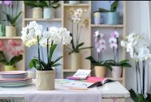 Phalaenopsis Orchid / The 'butterfly orchid' grows nativly in trees. http://www.orchidsinfo.eu/en/consument/the-orchid/phalaenopsis-orchid/