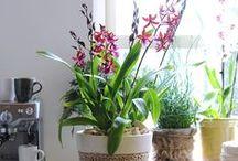Cambria-like orchid / http://orchidsinfo.eu/en