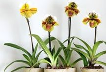 Paphiopedilum / This orchid is sometimes called 'lady slipper' or 'slipper orchid', due to the shoe-shaped lip, which serves as an insect trap. http://www.orchidsinfo.eu/en/consument/the-orchid/paphiopedilum-orchid/
