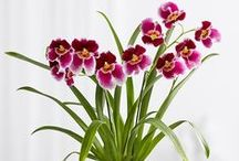 Miltonia Orchid / The 'pansy orchid' prefers to grow on sloping river banks, or in any case outdoors. http://www.orchidsinfo.eu/en/consument/the-orchid/miltonia-orchid/