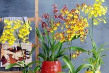 Oncidium Orchid / 'The dancing princess' grows on trees and rock crevices, and prefers to be in the shade. The Oncidium may also be referred to as 'The Tiger Orchid'. http://www.orchidsinfo.eu/en/consument/the-orchid/oncidium-orchid/