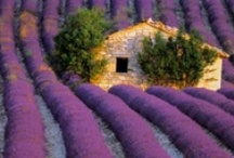 Lavanda & lavender