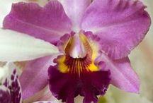 Cattleya Orchid / http://orchidsinfo.eu/en