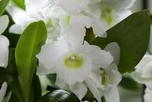 Dendrobium Nobilé Orchid / http://orchidsinfo.eu/en