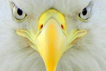 Birds-Eagles