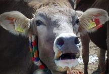 Kühe / Wenn ich im schönen Allgäu bin müssen die Kühe herhalten, ich liebe es die Kuhglocken zu hören - so vermisse ich auch nicht das Möwengeschrei von der Küste!