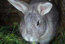Homesteading: Rabbits / Everything to do with rabbits on the homestead