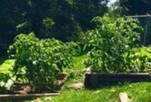 Gardening - Vegetable / Gardening info and ideas for my small backyard garden.