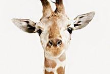 it's all about giraffe
