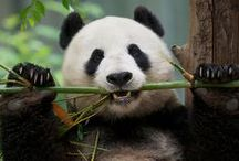 Wonder panda