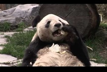 Panda Videos