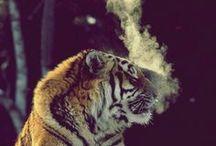 Tigerous • Kittenzz