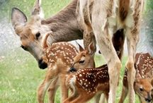Deer Luv / I've always loved deer. They are so cute! / by Jan Springer