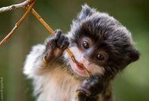 Monkeys & Prosimians