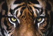 Tigers