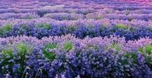 lavender farm / have land, will plant