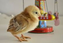 Our Baby Chicks, Chickens and Dogs