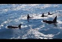 """Whales and """"wildlife"""" on Galiano Island / Living on an island means all sorts of """"neighbours"""" move in next door, or sail by, or fly by daily."""
