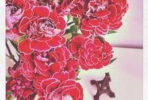 Carnation / by Camila