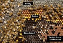 Novice Beekeeper / Useful information for anyone interested in beekeeping.