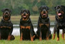 ROTTWEILER / by Chris