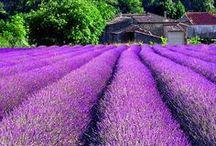 Tickled   Purple