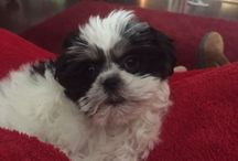 Puppy Love / Shih tzu