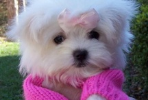 Maltese Cuteness! / These little sweeties are just precious!  How could you not LOVE them?! / by Artsy Albums