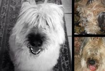 Briards Plus / Our Miss Madison! We loved our Briard / by Susan Sicora