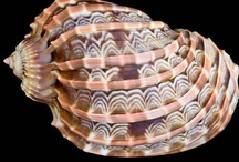 SHARE YOUR SHELLS / Pinpalls, lovers of sea & shells, please join and pin your most wonderful shells, old & new! To be added leave a comment! Then I'll send you an invite. No advertising!! Thank you! / by Josephine Vogel