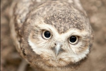 «««  HoѺTƎя$  »»» / Hooters... Photos Of Owls.........