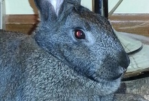 ✿❁❀...ÐαYsi...❀❁✿ / This board is dedicated to my Flemish Giant Bunny ... Daysi..... She was 8 weeks old when I got her on Dec. 16, 2012