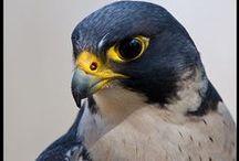 Falconiformes / Birds from the Falconidae family.