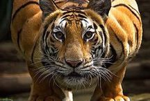Tigers / Magnificent......... Panthera Tigris The tiger is the largest cat species, reaching a total body length of up to 3.3 metres and weighing up to 306 kg. It is the third largest land carnivore.