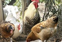 Chickens and Gardens / Chickens, and gardens! What cool stuff have you found? / by Holly Bishop