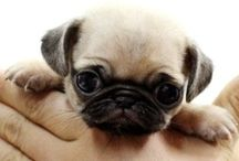 """Pug Puppies / """"Whoever said you can't buy happiness forgot about little puppies.""""     -Gene Hill  / by Judith Margiotta"""