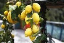 Cítricos / Óleos essenciais cítricos, plantações, métodos de extração, uso dos cítricos em aromaterapia e perfumaria natural botânica.