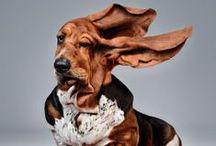 Basset Hounds ~BirdོDog / Basset hounds, dogs