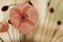 Coquelicots Poppies