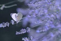 lavanda -levendula-lavender / by Emerencia Horváth
