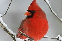 Scarlet Feathers / Love red birds, real or fantasy. One of my animal familiars ;)
